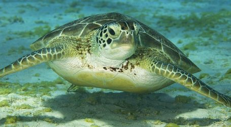 A Rescued Green Sea Turtle Finds a New Home at the SEA LIFE Sydney Aquarium