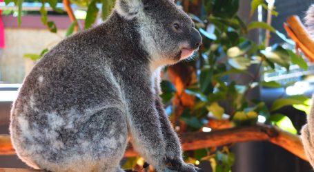 The Oldest Koala at Sydney Zoo Celebrates Her 16th Birthday – A Special Day for 'Faith' the Koala